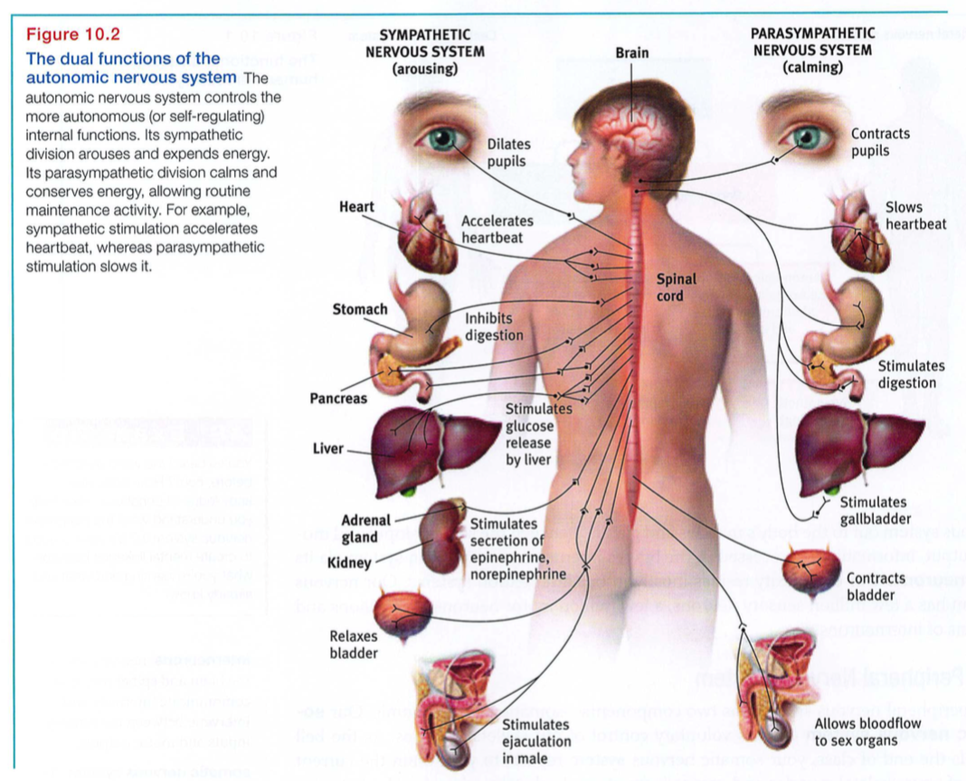 activation of the sympathetic nervous system quizlet